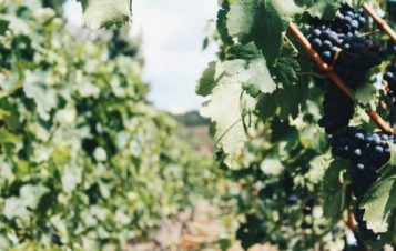 Going Green: Sustainable Vineyards & Organic Wines